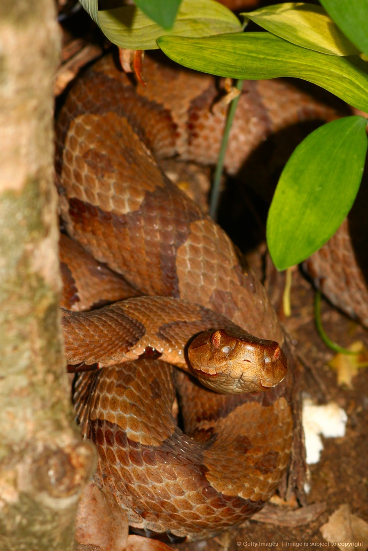 N Snakes 43 best images about V...
