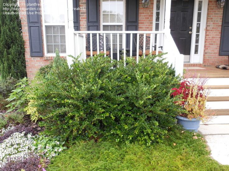 lovely examples of a fine cultivar - planted at my house (near Raleigh, NC), spring 2009