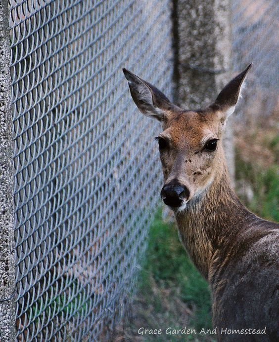 The ideal height of a deer fence, and how a short deer fence can be highly effective.