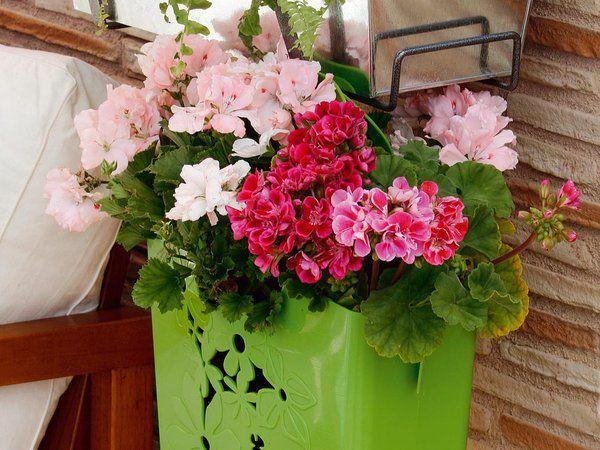 Todo lo que has de saber sobre los geranios geranios - Todo sobre jardineria ...