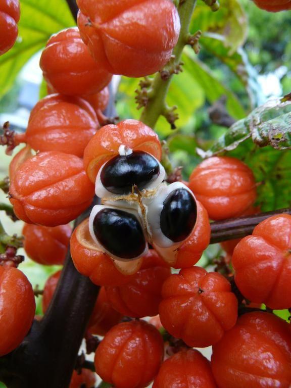 """Guarana Fruit Cluster closeup"" by Oscar Jaitt Pahoa"