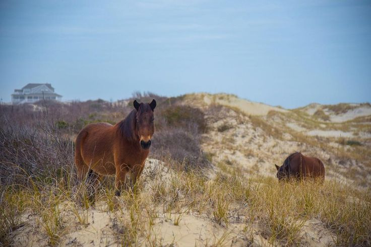 Check off - Seeing wild horses on the beach when you take a day trip to Corolla on your next visit.    // Outer Banks Vacation Rentals on Hatteras Island, NC - Outer Beaches Realty //     #OBRfun #outerbeaches #hatterasisland #outerbanks #obx #obxnow #hatterasfun #vacation #sun #beach #beachlife #saltlife  #island #islandlife #rentthewholehouse #beachhouse #beachvibes #goodtimes #horses #wildhorses #bucketlist