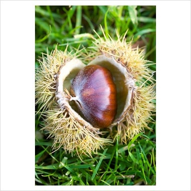 how to grow sweet chestnuts from seeds