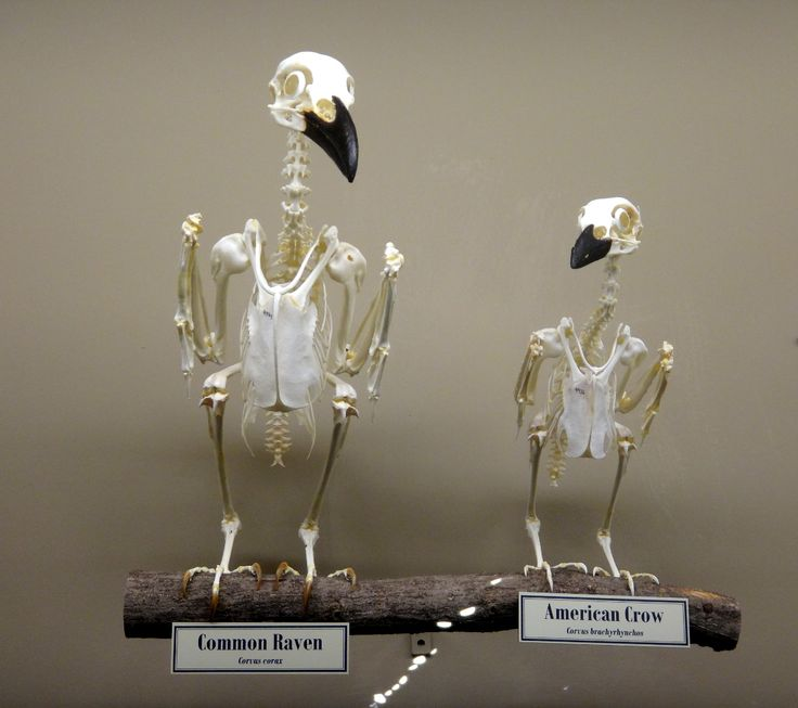 Crows Ravens:  The difference in size between a #raven (left) and a #crow (right). Museum of Osteology