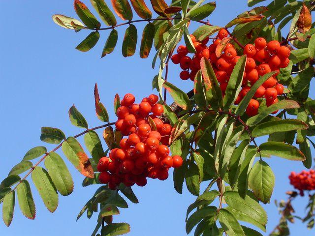 Sorbier des oiseleurs, Sorbus aucuparia : conseils de plantation et de culture du sorbier des oiseaux, un petit arbre à baies décoratives.