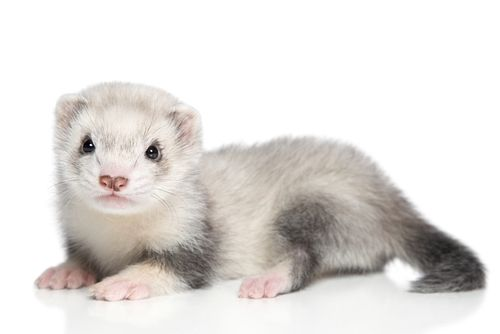 www.petclic.es la mayor tienda online de productos para #mascotas. La mayor biblioteca de contenido y consejos sobre mascotas. 1.000 consejos. 50.000 imágenes. Foto de #hurones #animal #mascotas