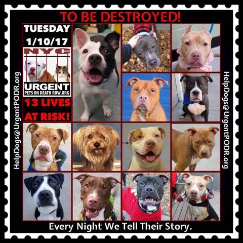 TO BE DESTROYED 01/10/17 - - Info   To rescue a Death Row Dog, Please read this:http://information.urgentpodr.org/adoption-info-and-list-of-rescues/  To view the full album, please click here:http://nycdogs.urgentpodr.org/tbd-dogs-page/ -  Click for info & Current Status: http://nycdogs.urgentpodr.org/to-be-destroyed-4915/