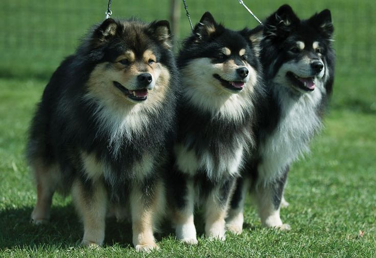 1000+ images about Finnish Lapphund on Pinterest ...