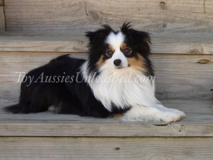 KC MURPHY Toy Aussies Unleashed -  Puppies Available        You cannot have happy, healthy puppies unless you start with happy, healthy dogs!!! See our Past Pups page to see the babies growing and see what their new people are saying about them