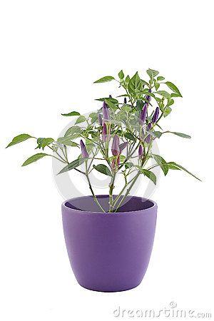 Small hot chili pepper in a flowerpot