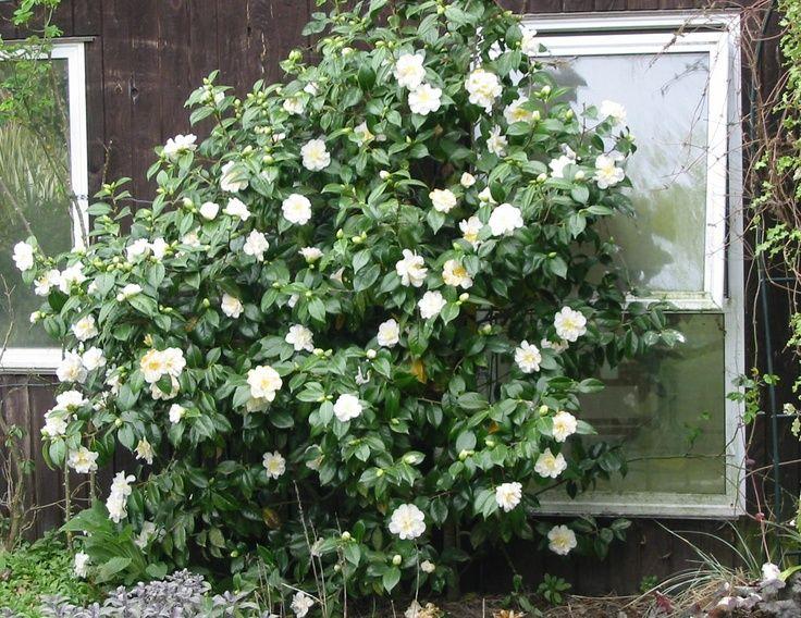 Front Yard | Shade: White Camellia Shrub | flowers ...