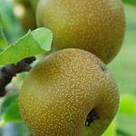 Nijisseiki - Fruitbomen.net Mobiel