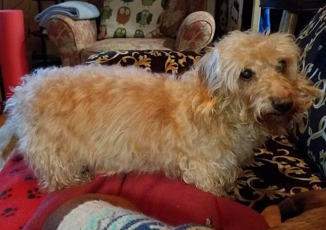 My Three Doxsons New Senior Dachshund Milestones Dachshund Dog