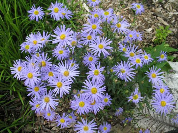344 best blue petals images on pinterest blue flowers beautiful japanese aster june bloom blue blue star is a clump forming perennial that mightylinksfo Image collections