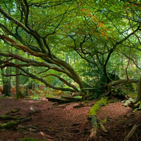 """The woods on the way to the Quidditch World Cup (Ashridge Woods, Hemel Hempstead). 