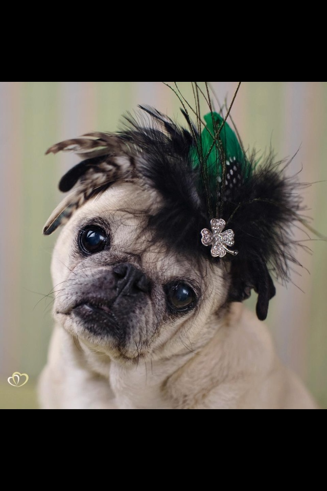 "Me again! Here I am wearing my ""Luck of the Irish"" head piece. Lucky and stylish if I do say so myself!! By Pugs and Kisses"