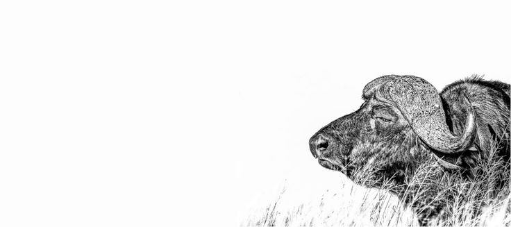Cape buffalo portrait. Black and white panoramic image by wildlife photographer Dave Hamman
