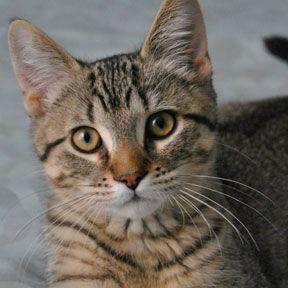 Adoptez /Adopt 3367 - Koshka (Mâle, né approx. en février 2015 / Male, born approx. February 2015) http://www.refugechatsverdun.com/chats_a_adopter.html#3367 #Adoptable #Cat #Chat #Montreal #Verdunluv #foreverhome #rescuecatsarethebest #adoptdontshop