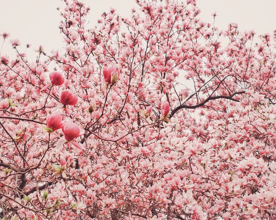Poster   CHERRY BLOSSOMS von Vivienne Gucwa   more posters at http://moreposter.de