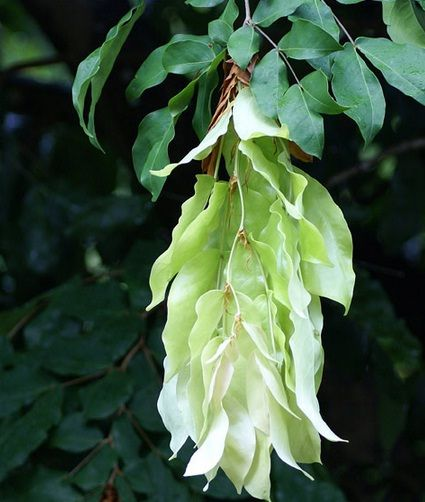 Tanaman Pohon Sapu Tangan