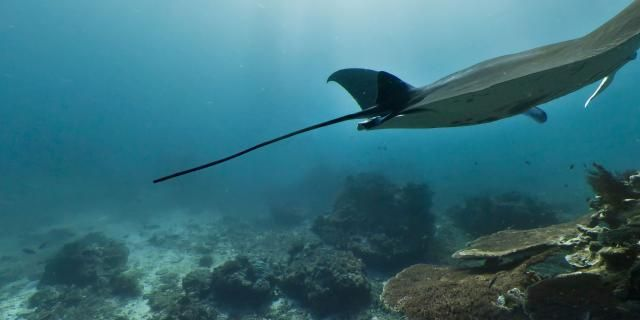 Panorama: An underwater panorama of a majestic mantaray on an afternoon swim on the Great Barrier Reef near Lady Elliot Island.