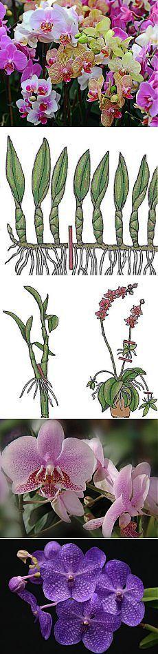 Размножение,посадка,уход,виды. Орхидея украшает собою любой ухоженный сад, жаль только, что у нас в России способны прижиться на открытом воздухе далеко не все виды этого нежного тропического растения. Орхидея относится к семейству однодольных декоративных многолетников, которое насчитывает более 600 видов и тысячи различных сортов. Удивительно нежные цветки орхидеи собраны в кистевидные или колосовидные соцветия, реже встречаются виды орхидеи, имеющие одиночный цветок.