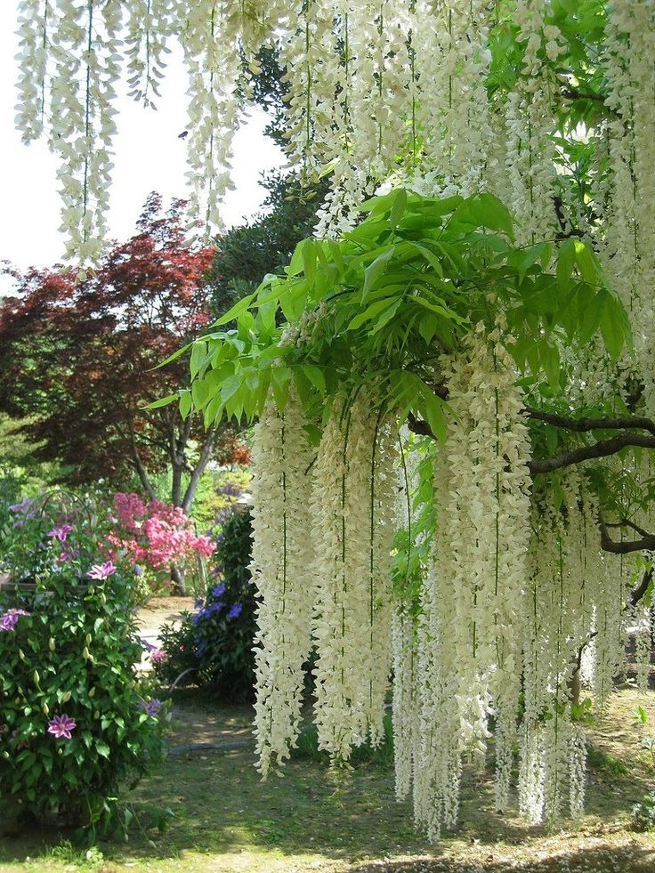 Ashikaga Flower Park  in Japan, known for their wisteria, many over 60 years old.