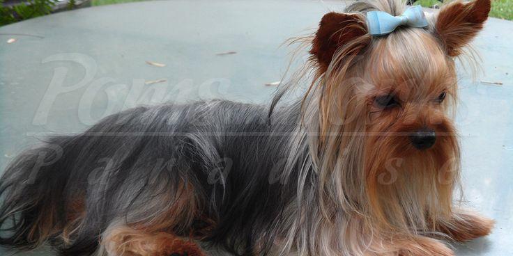 Criadero en Mexico de Yorkshire Terrier