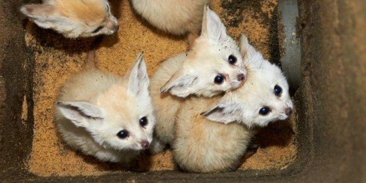 Zoo de la Palmyre (17) : cinq petits fennecs font leurs premiers pas*****