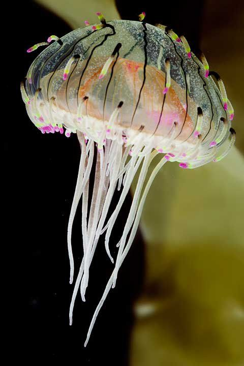 Flower Hat Jellyfish are one of the most attractive species of jellyfish inhabiting West Pacific off southern Japan.