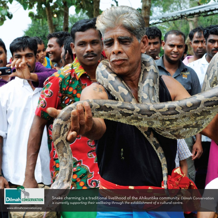 Snake charming is a traditional livelihood of the Ahikuntika community. Dilmah Conservation is currently supporting their wellbeing through the establishment of a cultural centre.