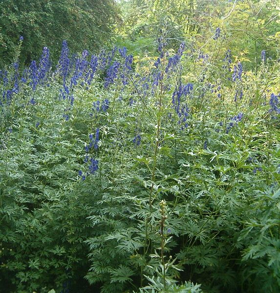 Aconitum carmichaelii in swathes add 'Delphiniumeque' stature and drama to a border in early autumn and very tolerant to a shady spot. A real joy.