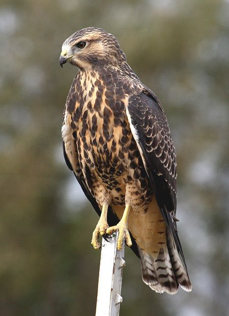 Swainson's Hawk. Photo by Jack Binch. Swainson's hawk is a large Buteo hawk of the Falconiformes. This species was named after William Swainson, a British naturalist.