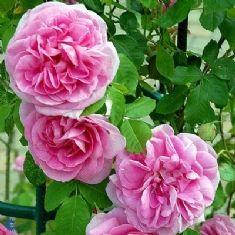 Engelsk rose (Rosa 'Gertrude Jekyll) > Engelske roser > Roser > planteshop.dk