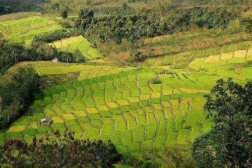 Terraced Rice Fields in Flores, INDONESIA. The rice fields was pictured in Ruteng area in West Flores - Indonesia