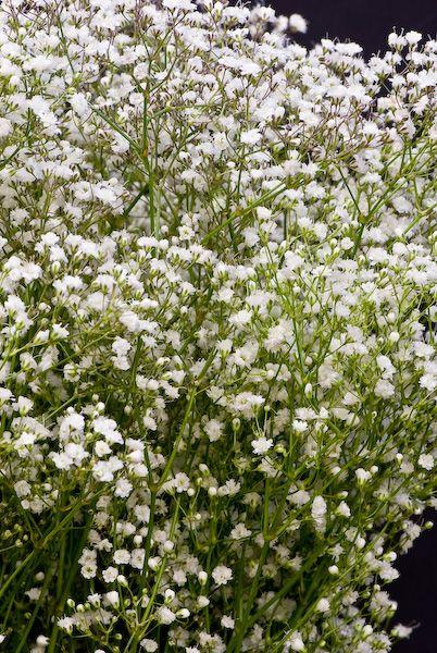gypsophila color blanco babys breathbabies