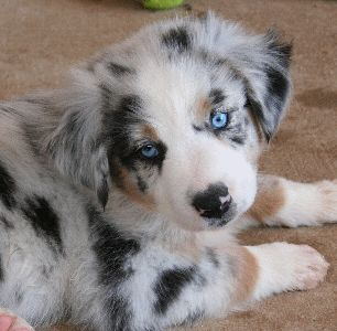 Beautiful Australian Shepard Puppy, Blue Merle dogs puppies pets animals