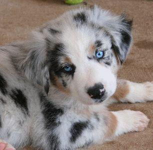Australian Shepherd  Google: http://dogbreedinsight.com/wp-content/uploads/2011/12/australian-shepherd-puppies-19.gif