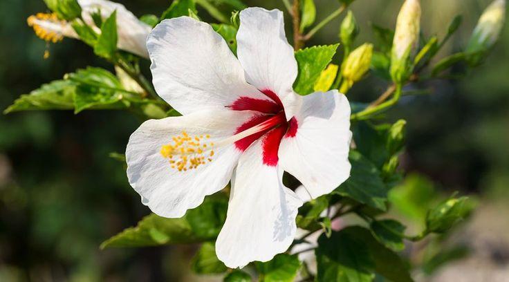 Für den August haben wir uns entschieden den Garten-Eibisch oder Hibiskus zu präsentieren - Hibiscus syriacus.