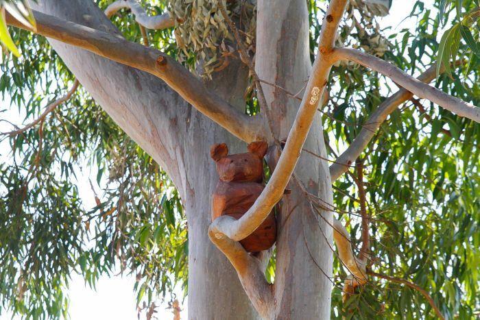Koala up a tree