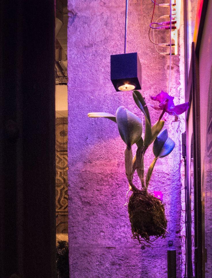 Orchidea kokedama