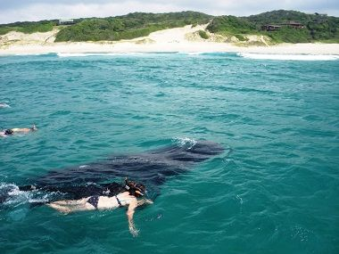 Swimming with a whale Shark off Ponto do Ouro