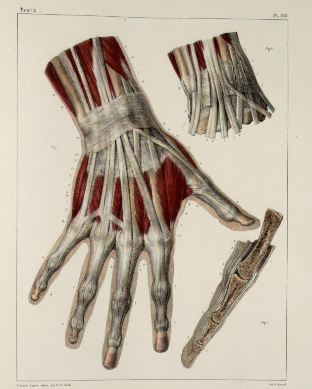 Inspirational Artworks: ANATOMY IMAGES  #medical #medicine #illustration #drawing #anatomy #anatomical #vintage #antique #hand #muscle #muscles #tendons #tendon #ligament
