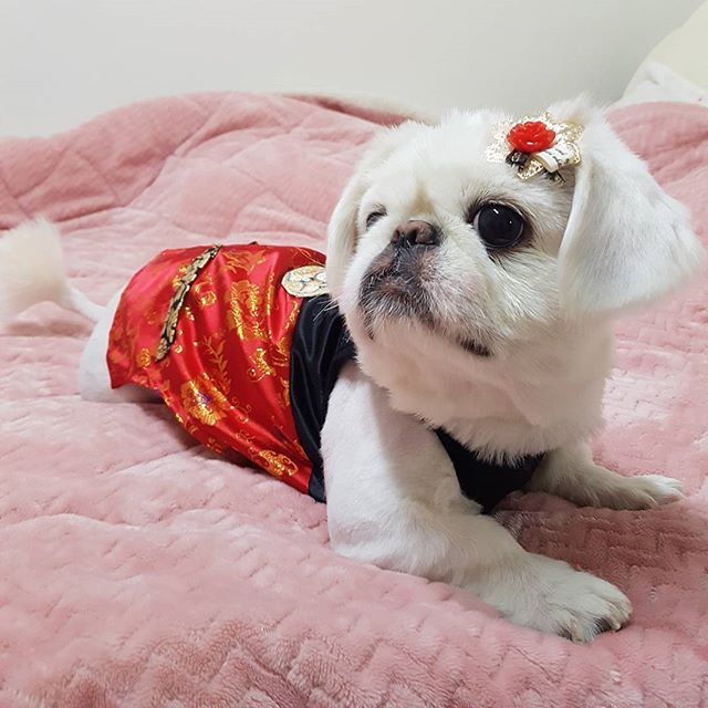 새해 복 많이 받으세용~~😇💕 . . #몽이.ver  #몽이 #페키니즈 #페키 #반려견 #내새끼 #사랑해💕 #멍스타그램 #개스타그램 #ぺキニーズ #ぺキ #愛犬 #pekingese #peki #pet #puppy #mypet #mypuppy #🐶