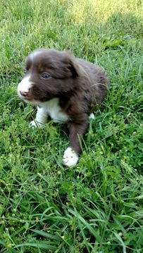 Litter of 4 Border Collie puppies for sale in RANDOLPH, AL. ADN-29090 on PuppyFinder.com Gender: Female. Age: 4 Weeks Old