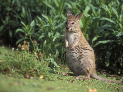 Red-Necked Pademelon (Thylogale Thetis), Queensland, Australia