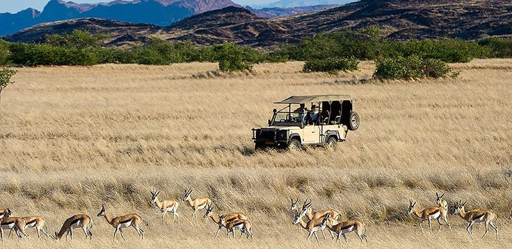 Namibia – Explore Sossusvlei, Etosha, Damaraland, Skeleton Coast | Wilderness Safaris Springbok feast on the annual grasses in the open plains