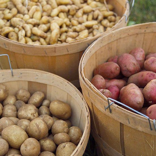 Trying to grow potatoes from potatoes?