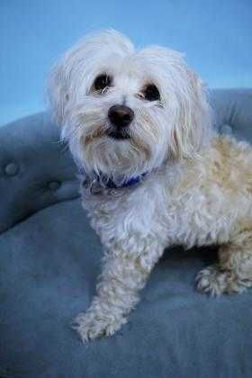 Check out Rosco's profile on AllPaws.com and help him get adopted! Rosco is an adorable Dog that needs a new home. https://www.allpaws.com/adopt-a-dog/maltese-mix-shih-tzu/6571168?social_ref=pinterest