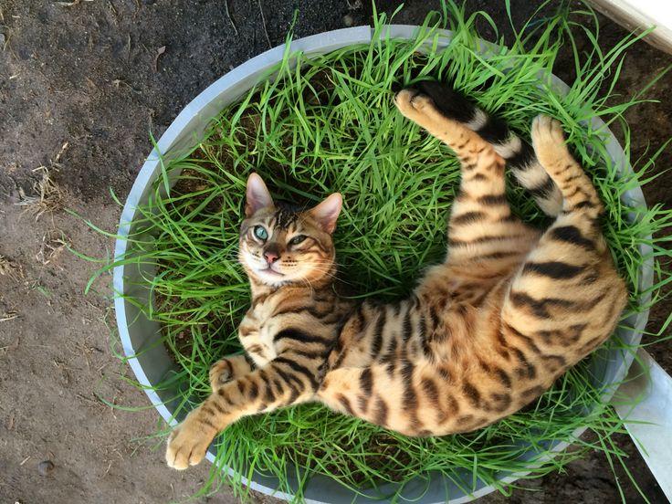 Bengal cat Zeus in heaven on his tray of cat grass